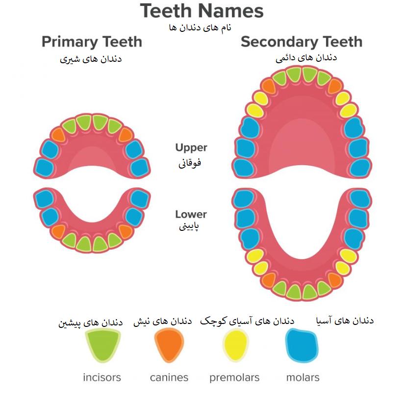 انواع دندان دائمی و شیری