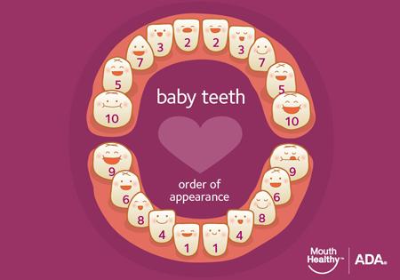 انواع دندان در انسان