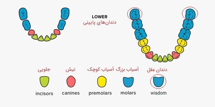 انواع دندان در فک پایین